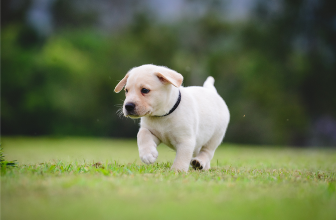 Teacup Vaccinations - Keeping Your Puppy Healthy